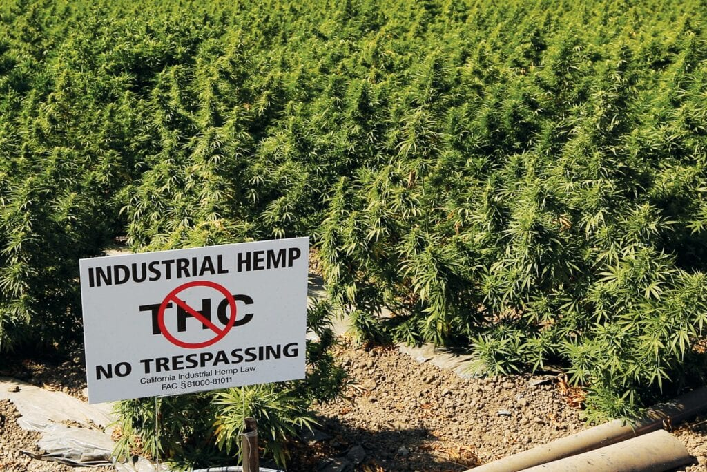 CUT OFF—The City Council voted to ban hemp growing in Moorpark. RICHARD GILLARD/Acorn Newspapers